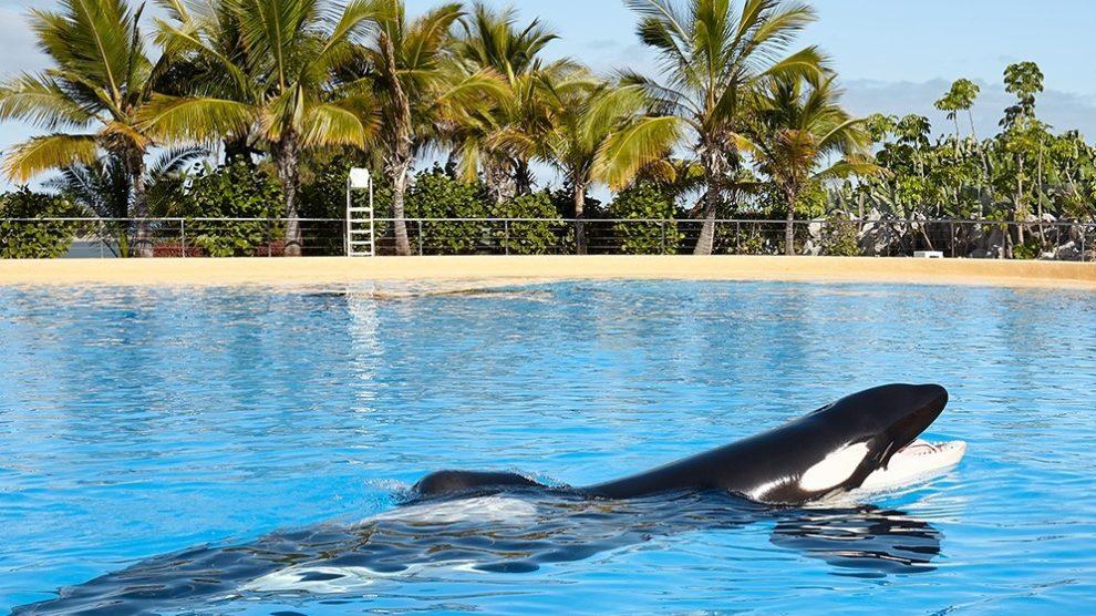 Miami Killer Whale Lolita